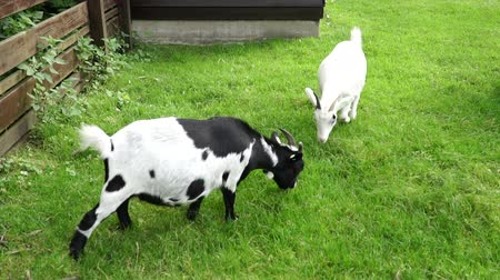 pastar : Goats in the yard eating grass
