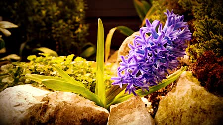 jacinto : Purple flowering Hyacinth plant. The camera moves back on the slider
