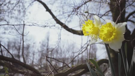 żonkile : Narcissus. Large daffodils on a spring morning in the wind