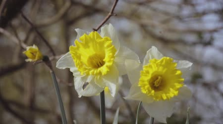 cor de malva : Narcissus. Large daffodils on a spring morning in the wind