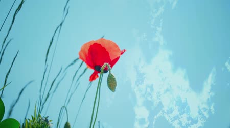 green grass : Red Poppies and sky. Wildflower in the meadow