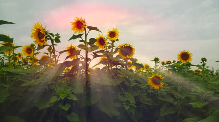 подсолнухи : Flowering sunflowers on a background sunset. Blossoming Helianthus