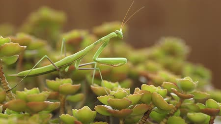predatório : European Mantis or Praying Mantis, Mantis religiosa