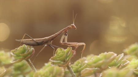 grasshopper : European Mantis or Praying Mantis, Mantis religiosa