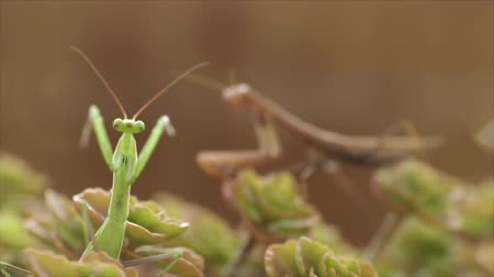 vulture : European Mantis or Praying Mantis, Mantis religiosa