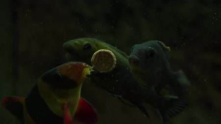 malawi : Feeding aquarium fish with tasty food Stock Footage