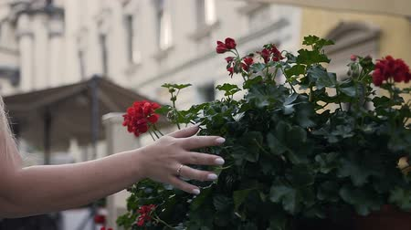 Close-up of a girls hand holding her on green leaves of flower pots with red flowers. Summer time Stockvideo