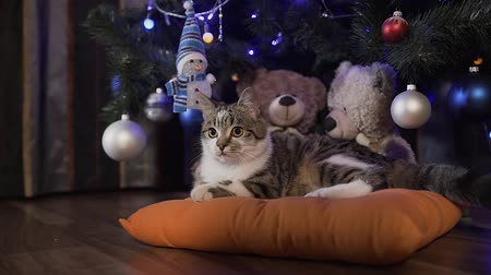 suíças : Little beautiful cat plays at the Christmas tree, Christmas holidays, evening