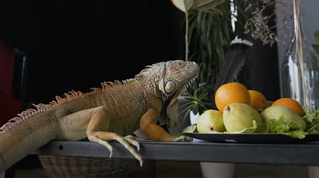 игуана : Big iguana sits on a table, near a fruit plate.