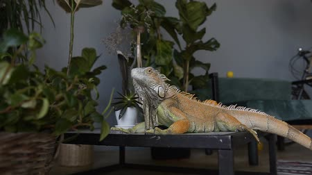 spikes : Portrait of a big iguana. Ride a camera on a lizard sitting on the background of green plants.