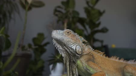 captive : Close-up Portrait of a big iguana. Ride a camera on a lizard sitting on the background of green plants.