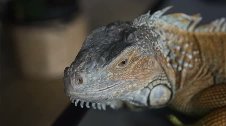 pullu : Close-up of a reptile looks into the camera and turns his head. portrait of wild iguana.