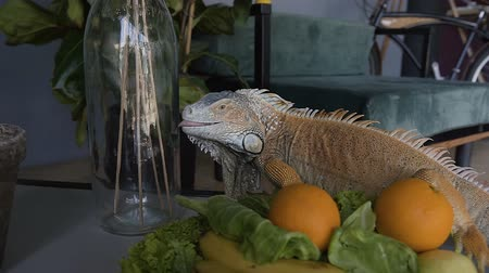 spiky : A beautiful green lizard sits on the table and eats the fruit lying on the plate. The iguana sitting on the background of the home interior eats an orange.