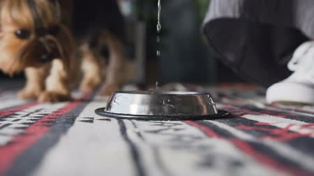 dog bite : Close-up pours water into a brilliant dog bowl. Yorkshire terrier drinks water in the room. Stock Footage