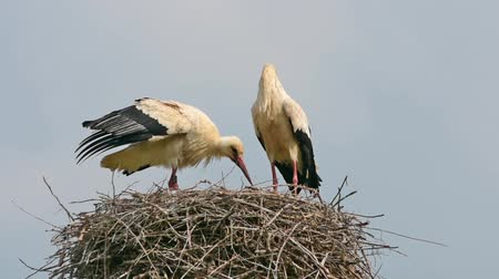 bird eye : two storks in the nest Stock Footage