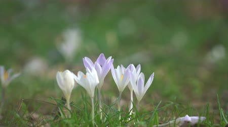 safran : Crocus bloom in a meadow at the end of winter