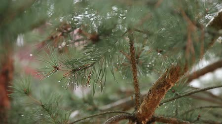 pinho : Morning dew on pine needles