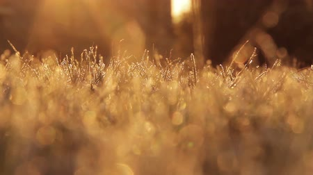 güneş ışını : Frosty Grass in the morning sunshine Stok Video