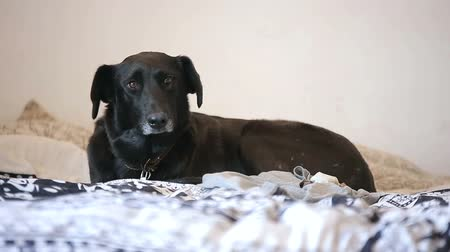 cão : Black Dog Resting in Bed Watching People Passing By