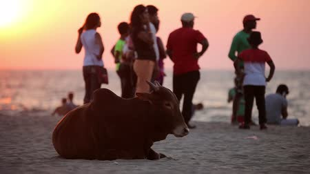 family life : Cow resting on the beach