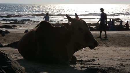 cielęcina : Cow resting on the beach