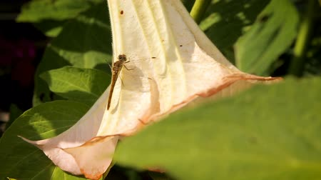 Dragonfly resting on a big white flower in the garden
