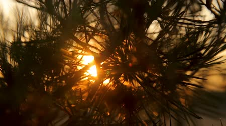 кедр : Pine tree branches with needles on sunset against the sky backlight