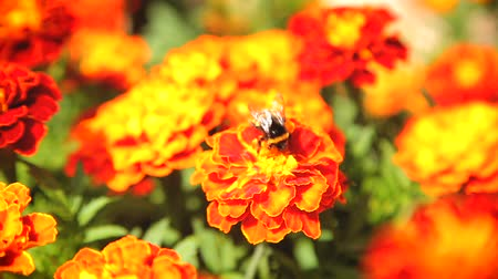 marigolds : Bumblebee pollinating flower tagetes Stock Footage