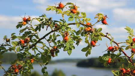briar : Rosehip bushes branch over nice lakeshore landscape