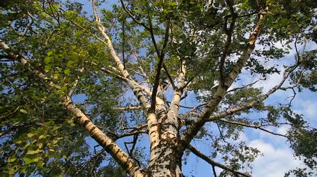 brzoza : Big old white birch tree over clear blue summer sky
