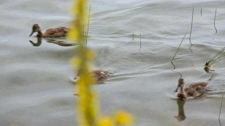 éretlen : Newborn ducklings on water by the lake shore