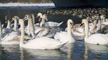 swans swimming : Swans on water by the riverbanck during winter Stock Footage