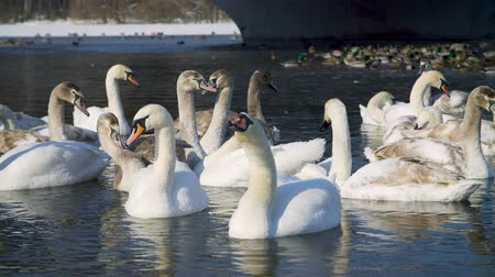 boyun : Swans on water by the riverbanck during winter Stok Video