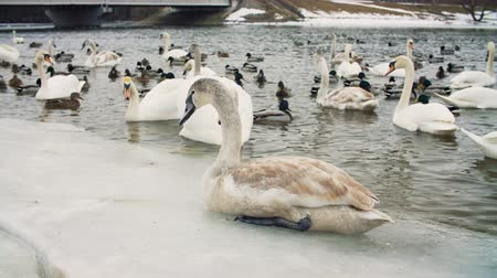 frozen lake : Swans on water by the riverbanck during winter Stock Footage
