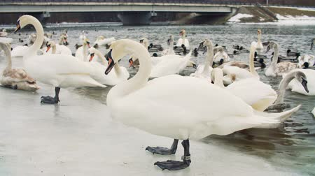утки : Swans on water by the riverbanck during winter Стоковые видеозаписи