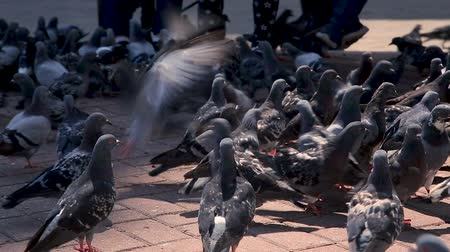rock dove : A bunch of city doves
