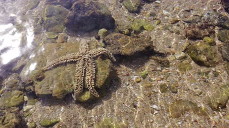 reticulatus : Starfish immersed in water. Stock Footage