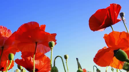 haşhaş : Poppy flowers on the spring field. Blue sky, wind and sun light nature background video footage