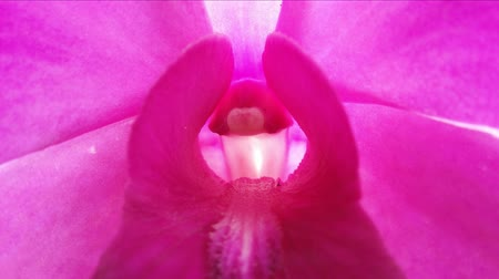 orquídea : Macro 4K video of orchid flower blossom