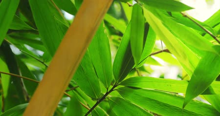 bambusz : Green bamboo leaves in tropical forest lush. Close up 4K video