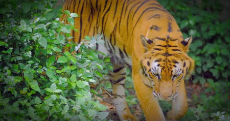 tigris : Bengal Tiger walking in wild forest 4k video