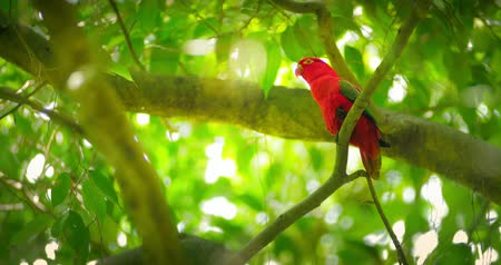 vida selvagem : Tropical forest paradise wild life. Red parrot bird on tree branches 4k video Vídeos