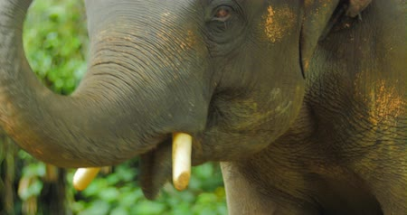 fil : Face of large Asian elephant in natural park