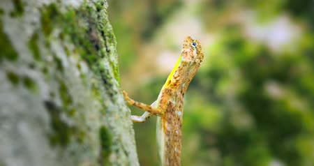 flying ants : Tree lizard on trunk praying for small insects in rainforest of Thailand