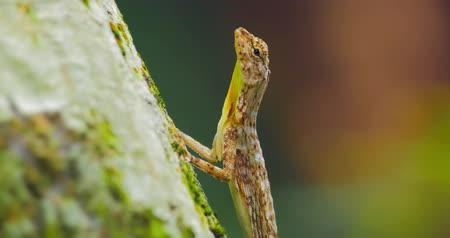 flying ants : Lizard on tree trunk hunting for ants in jungle rain forest