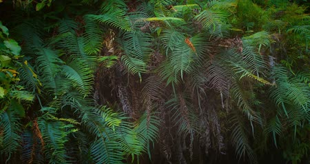 las tropikalny : Dense jungle forest. Natural wall of ferns leaves and tropical plants moving slightly by wind. Flora and vegetation of rainforest