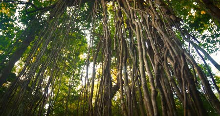 clima tropical : Dense tropical forest with twisted liana vines hanging from high trees of jungle rainforest. Plants of humid climate environment
