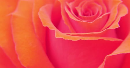 único : Pretty rose flower close up video. Sensual and romantic video background Vídeos