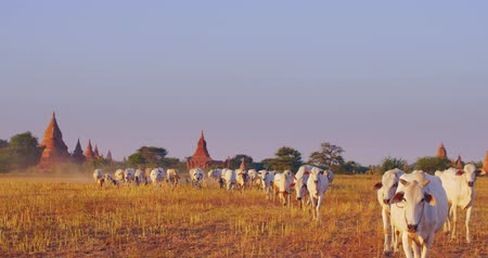сухой : Panoramic view of ancient temples of Bagan and herd of cows move through farmland in Myanmar Burma Стоковые видеозаписи