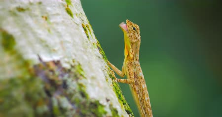 flying ants : Wildlife animals of tropical rain forest. Close up view of lizard eating ants on tree trunk